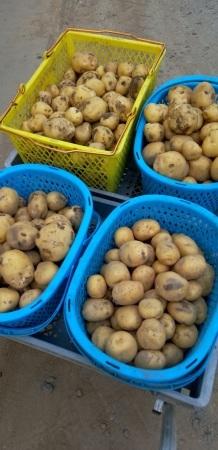 ハウスでじゃが芋の初収穫_d0026905_21124177.jpg