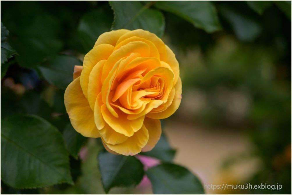 春薔薇(Ⅱ)_c0124256_16440092.jpg