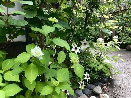鎌倉は紫陽花の季節_e0170562_14422458.jpeg