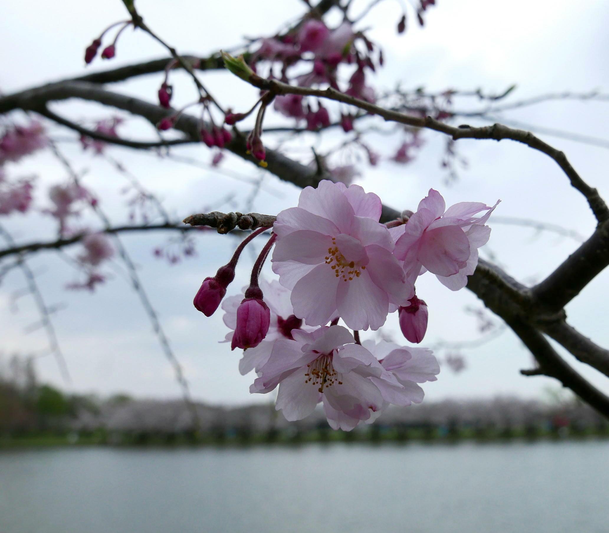 桜の接写_a0120774_22420239.jpg