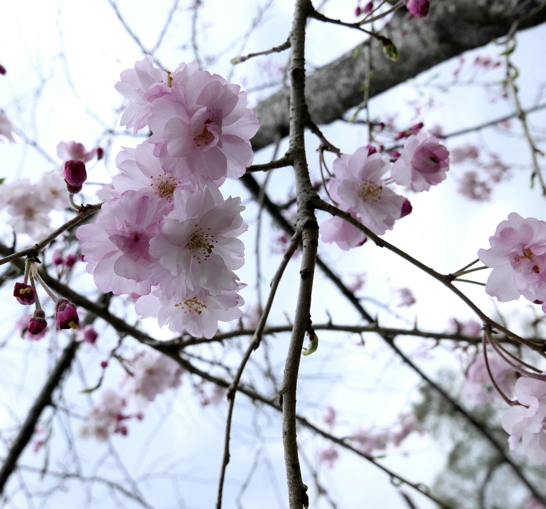 桜の接写_a0120774_22421138.jpg