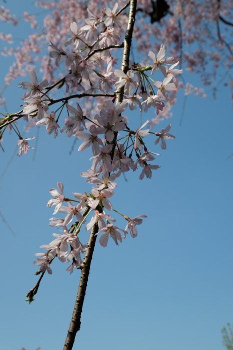 桜の接写_a0120774_22423970.jpg