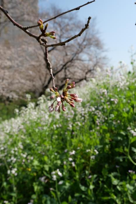 桜の接写_a0120774_22425724.jpg