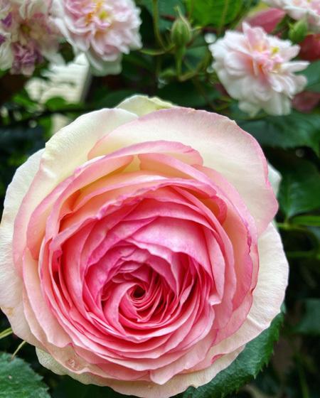 咲き乱れる古民家のバラ。_d0077603_12315489.jpg