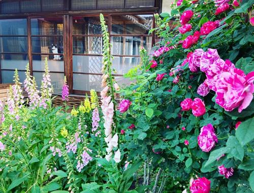 咲き乱れる古民家のバラ。_d0077603_12320206.jpg
