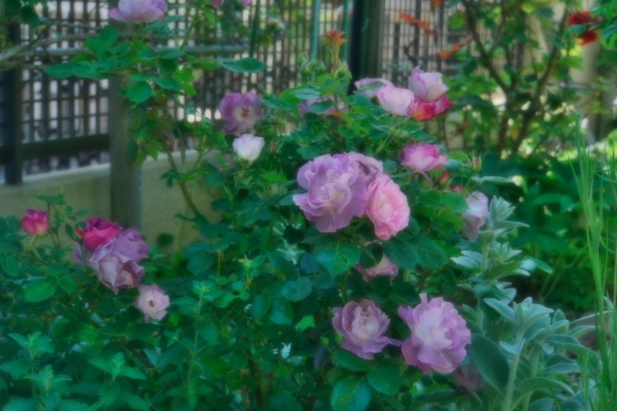 4月の我が家の庭1_a0263109_19111170.jpg