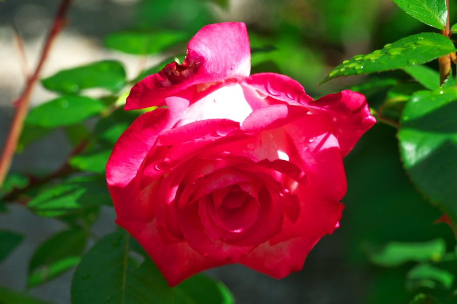 4月の我が家の庭1_a0263109_19113455.jpg
