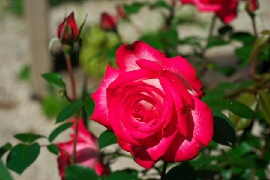 4月の我が家の庭1_a0263109_19115846.jpg