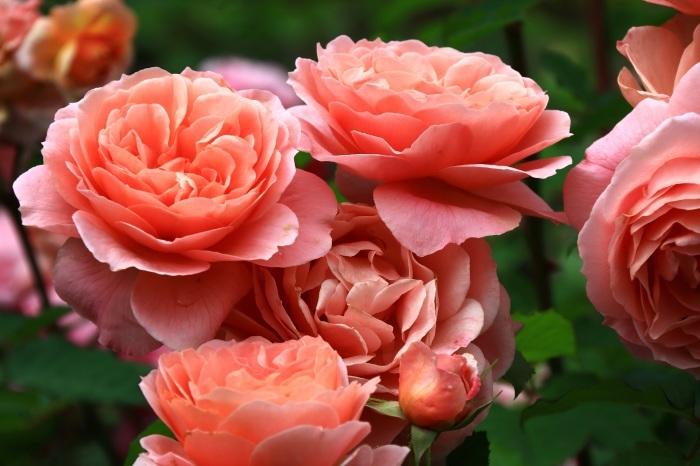 混んでいた四季の香りローズガーデン_b0325217_18212613.jpg