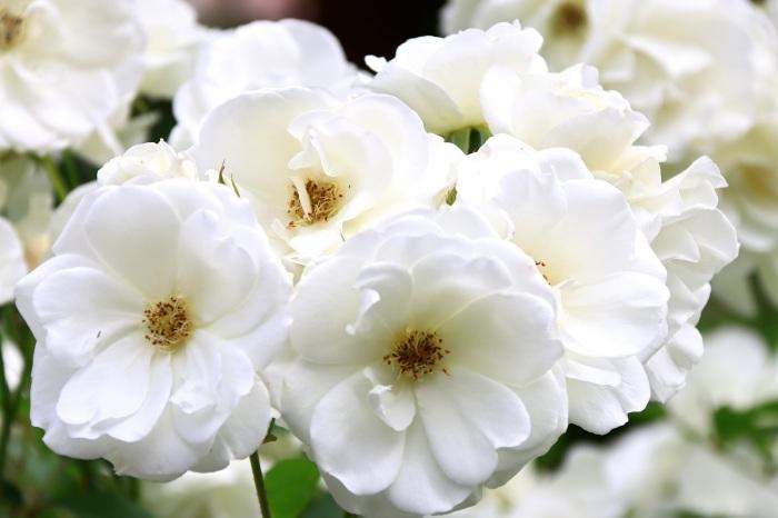 混んでいた四季の香りローズガーデン_b0325217_18215456.jpg