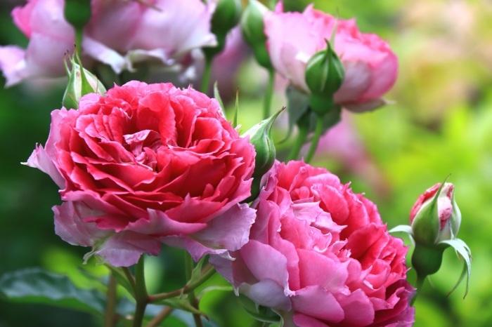 混んでいた四季の香りローズガーデン_b0325217_18224164.jpg