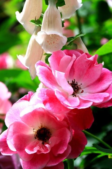 混んでいた四季の香りローズガーデン_b0325217_18271371.jpg