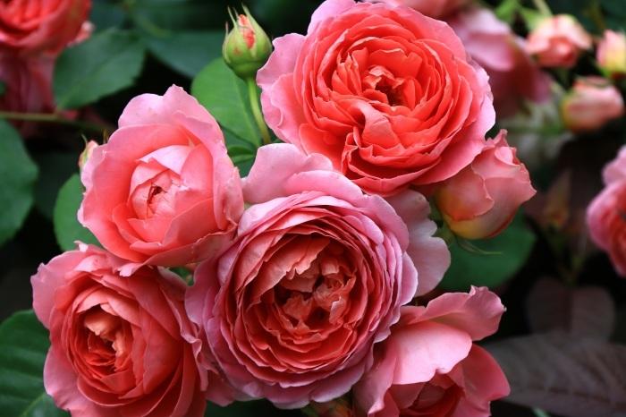 混んでいた四季の香りローズガーデン_b0325217_18275426.jpg