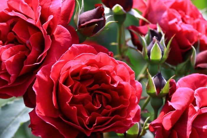 混んでいた四季の香りローズガーデン_b0325217_18283064.jpg