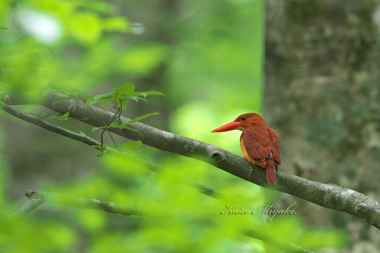 アカショウビン(Ruddy Kingfisher)八頭ふるさとの森_d0013455_11040827.jpg