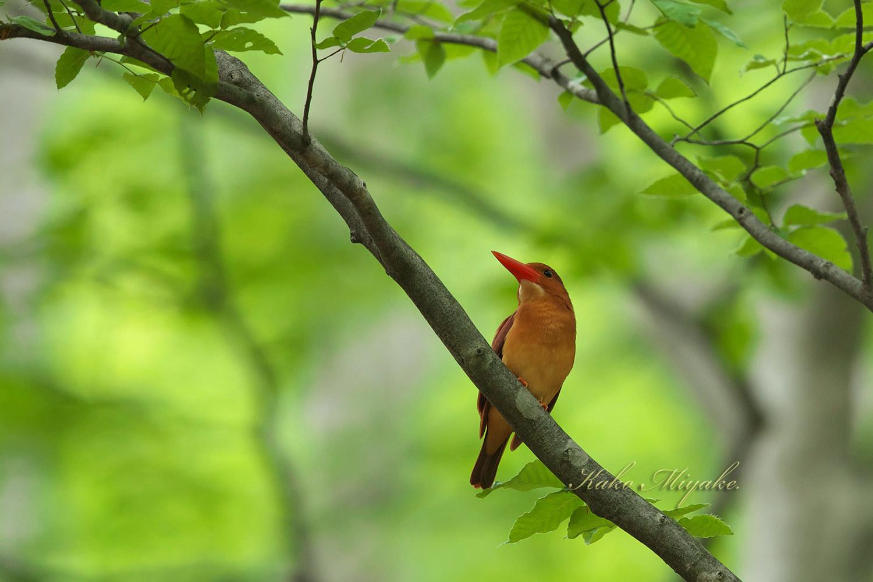 アカショウビン(Ruddy Kingfisher)八頭ふるさとの森_d0013455_11041913.jpg