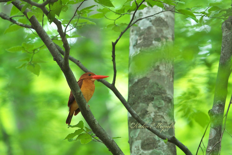 アカショウビン(Ruddy Kingfisher)八頭ふるさとの森_d0013455_11045922.jpg