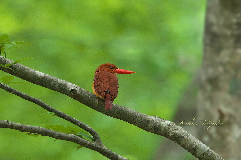アカショウビン(Ruddy Kingfisher)八頭ふるさとの森_d0013455_11052412.jpg
