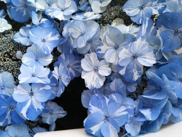 珍しい絞り花のあじさい_a0120264_18534498.jpeg
