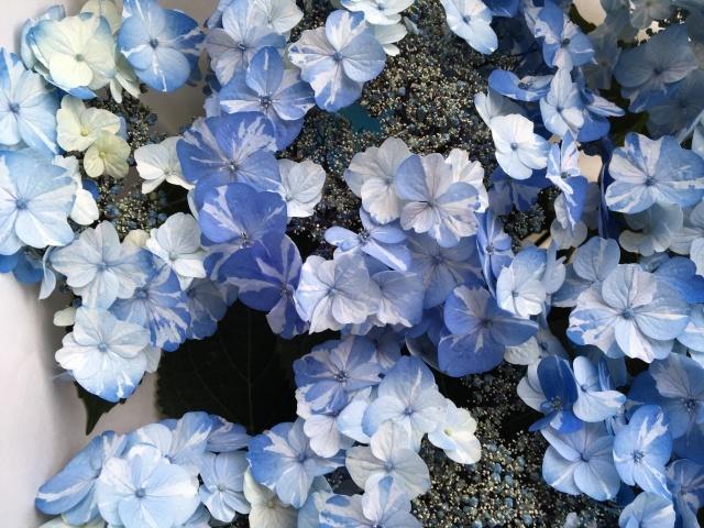 珍しい絞り花のあじさい_a0120264_18550459.jpeg