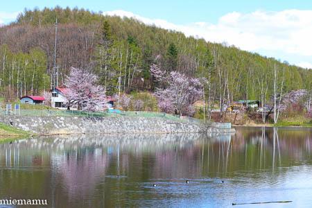 桜とカモさんたち~5月の美瑛_d0340565_20341664.jpg