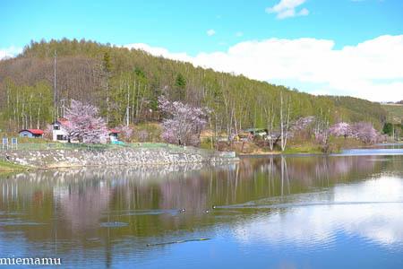 桜とカモさんたち~5月の美瑛_d0340565_20343226.jpg