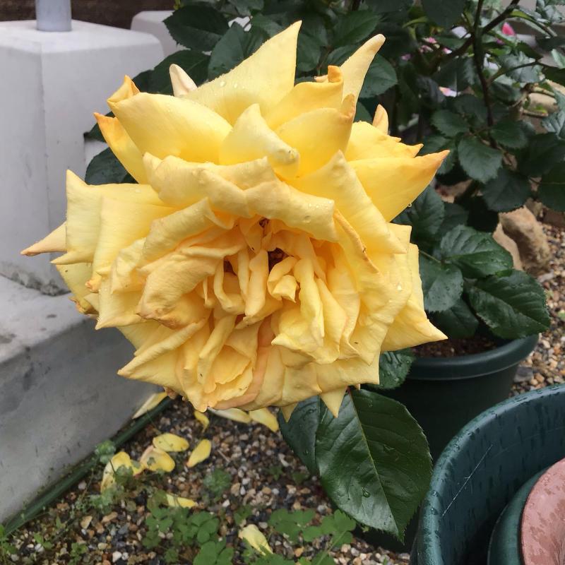 花径13センチ強の黄色のバラとバッハ_c0404712_23272225.jpg