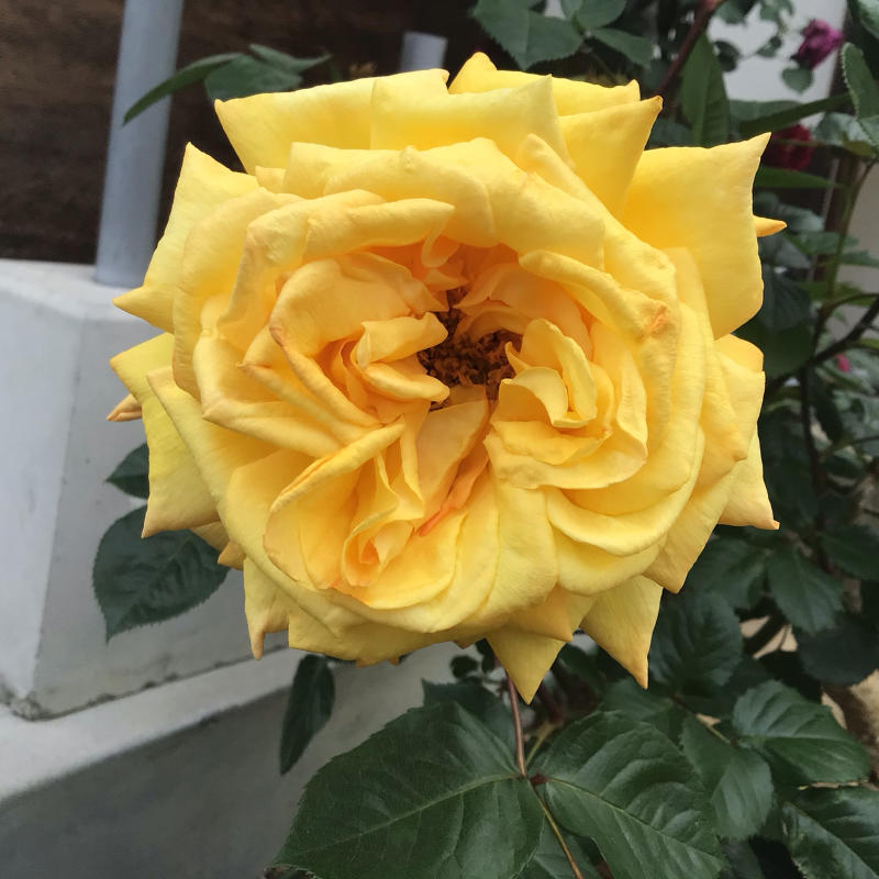 花径13センチ強の黄色のバラとバッハ_c0404712_23272412.jpg