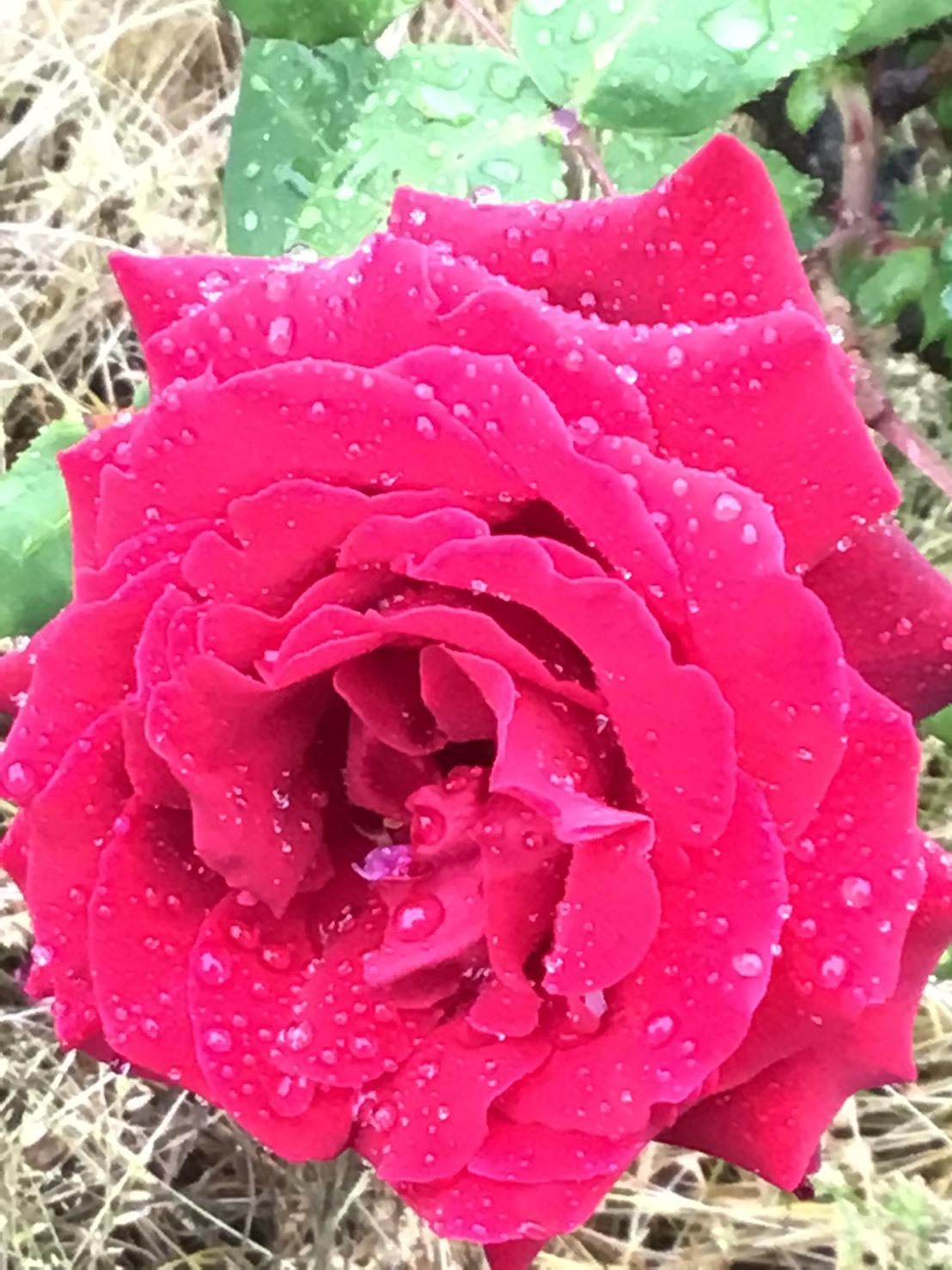雨に咲く薔薇_c0163618_14264851.jpg