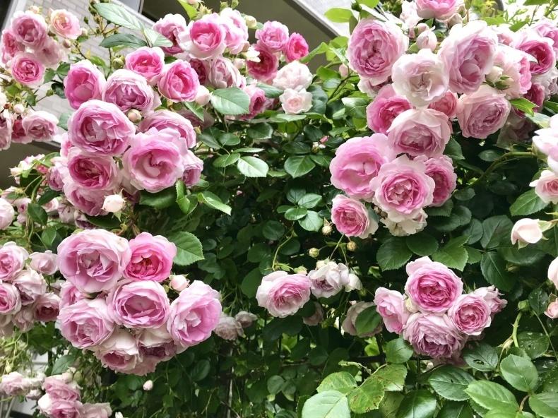 薔薇のお茶会①*2021/5/15_d0085018_15105072.jpeg