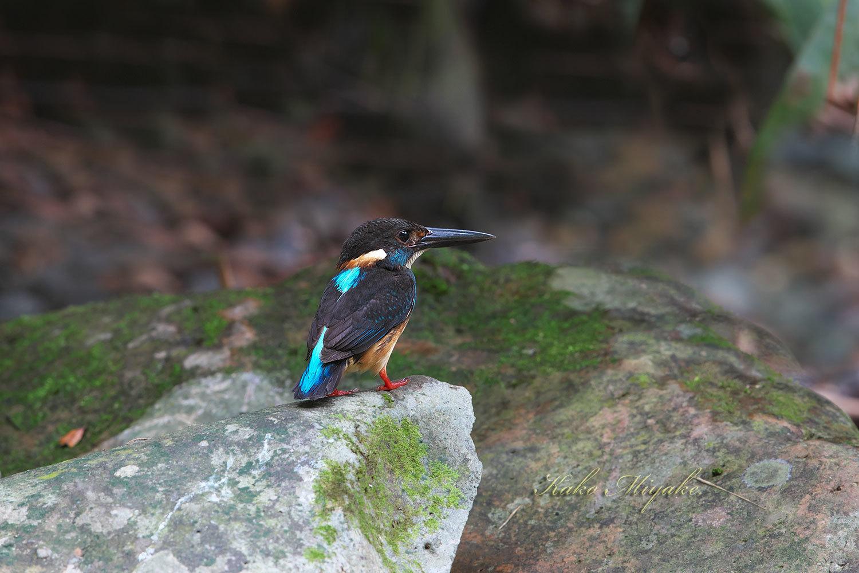 *アオムネカワセミ(Blue-banded Kingfisher)_d0013455_20282452.jpg