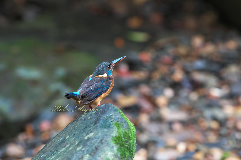 *アオムネカワセミ(Blue-banded Kingfisher)_d0013455_20292991.jpg
