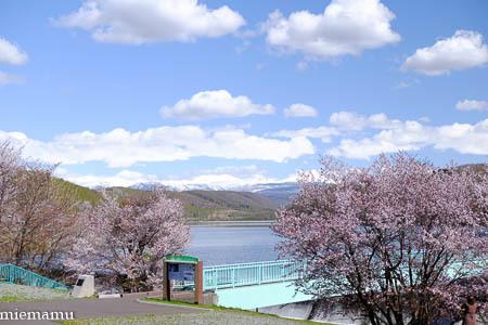 聖台ダムと桜VOL.2~5月の美瑛_d0340565_19534592.jpg