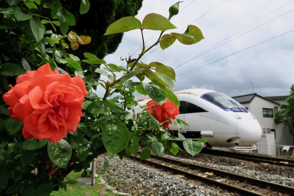 線路沿いのバラの花 - ポン太の写真帳別館