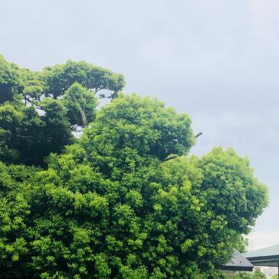 1199.神社の大きな木に居る2匹の犬_c0118526_12244800.jpg