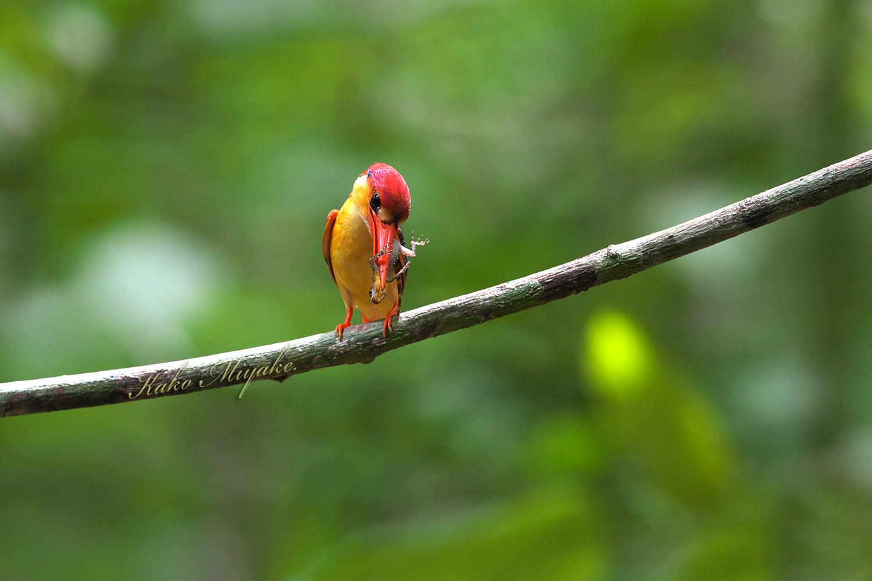ミツユビカワセミ(Black-backed Kingfisher)_d0013455_14064497.jpg