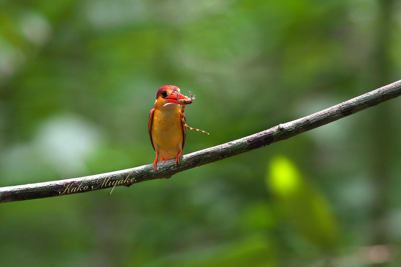 ミツユビカワセミ(Black-backed Kingfisher)_d0013455_14064951.jpg
