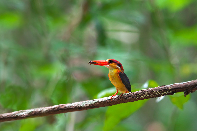 ミツユビカワセミ(Black-backed Kingfisher)_d0013455_14065518.jpg
