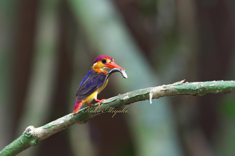 ミツユビカワセミ(Black-backed Kingfisher)_d0013455_14070699.jpg