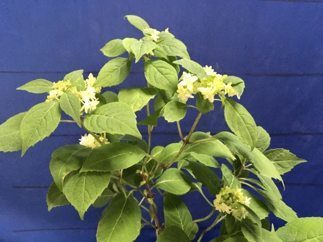 紫陽花の季節_a0120264_16450241.jpeg