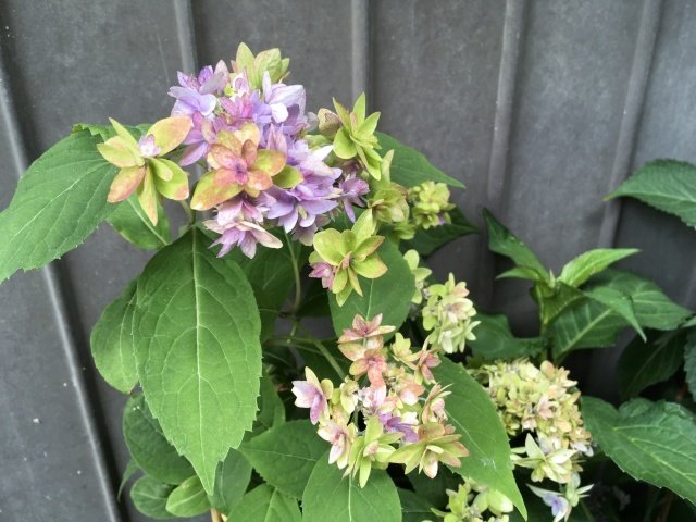 紫陽花の季節_a0120264_16461357.jpeg