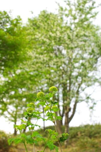 5月も半ばに、ほぼ梅雨入り_c0110869_12433886.jpg