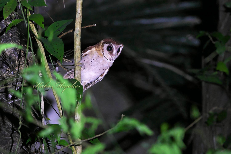 *ニセメンフクロウ(Oriental Bay-Owl)_d0013455_20375682.jpg