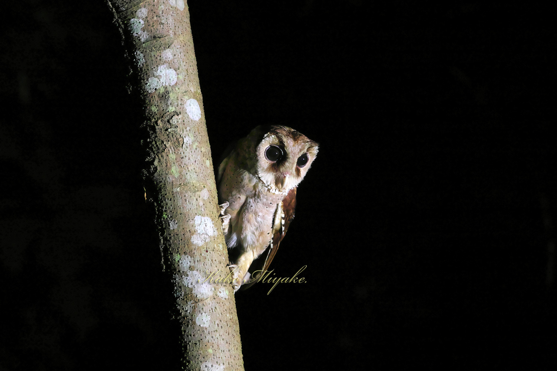 *ニセメンフクロウ(Oriental Bay-Owl)_d0013455_20380107.jpg