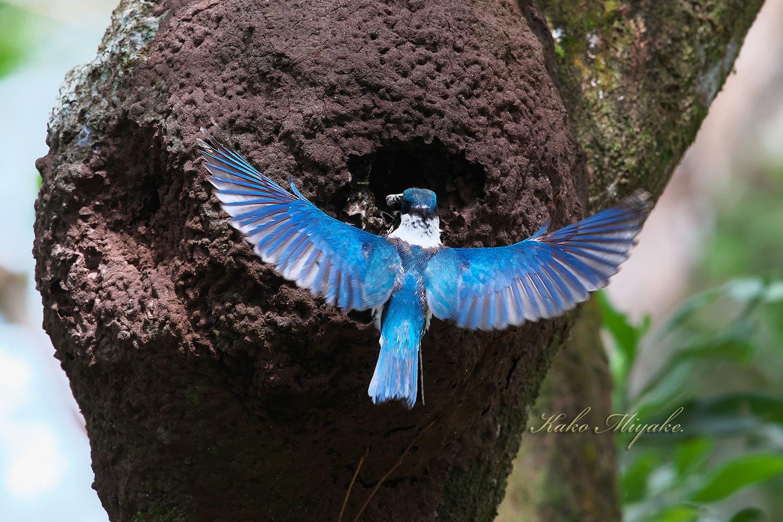 ナンヨウショウビン(Collared Kingfisher)_d0013455_21000602.jpg