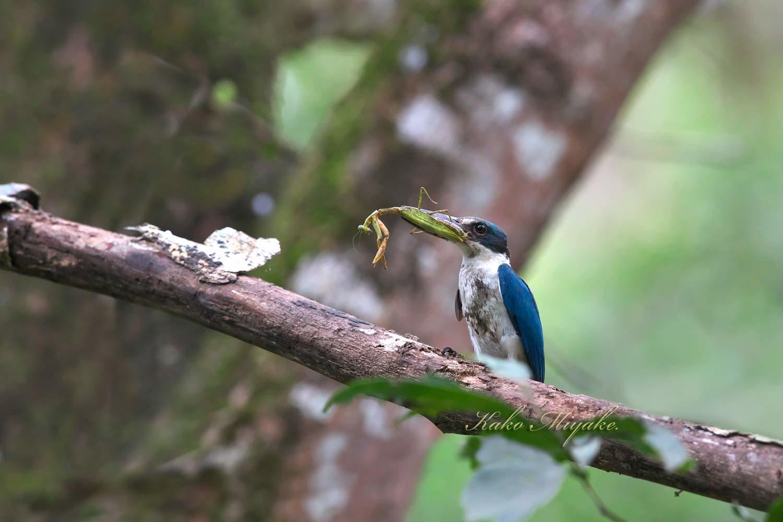 ナンヨウショウビン(Collared Kingfisher)_d0013455_21301415.jpg