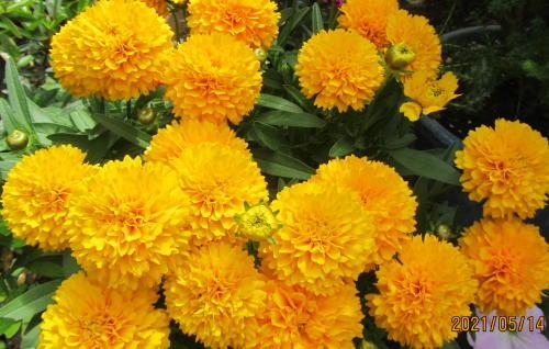 小さな庭の花木_c0220597_05133200.jpg