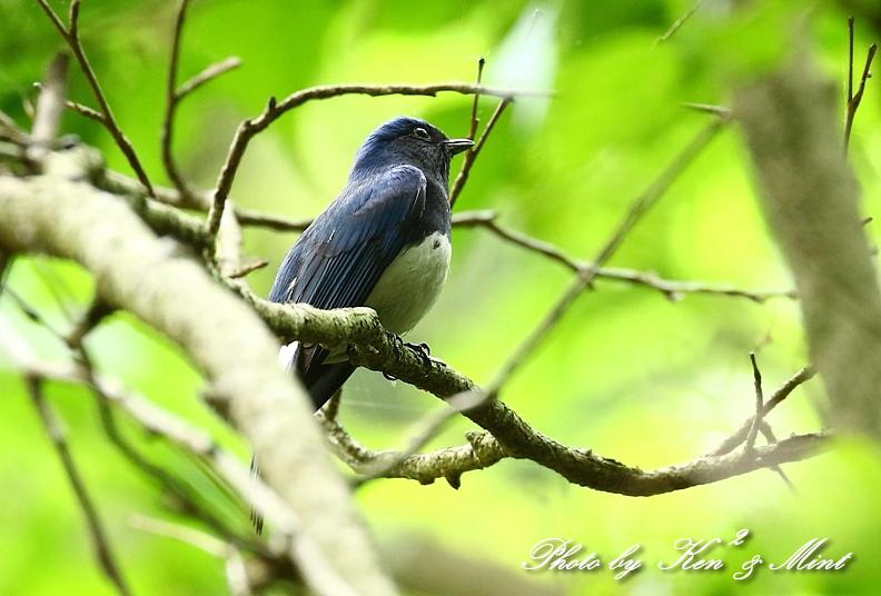 夏鳥さん「オオルリ」さんに会えました~Σ^) byケンケン編_e0218518_17294621.jpg