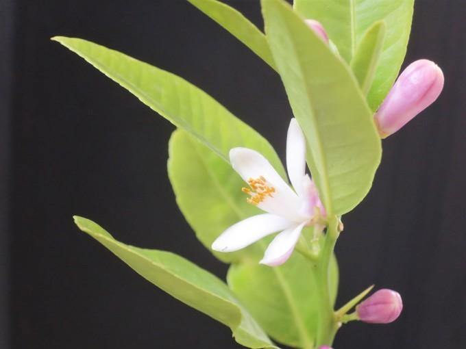 レモンの花 / 著莪、杜若_a0214206_21501846.jpg