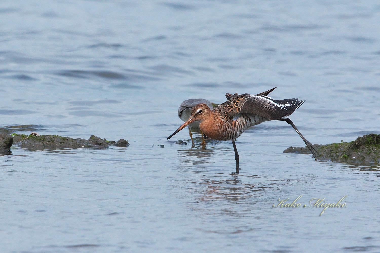 オグロシギ(Black-tailed Godwit)キアシシギ(Grey-tailed Tattler)_d0013455_18302032.jpg